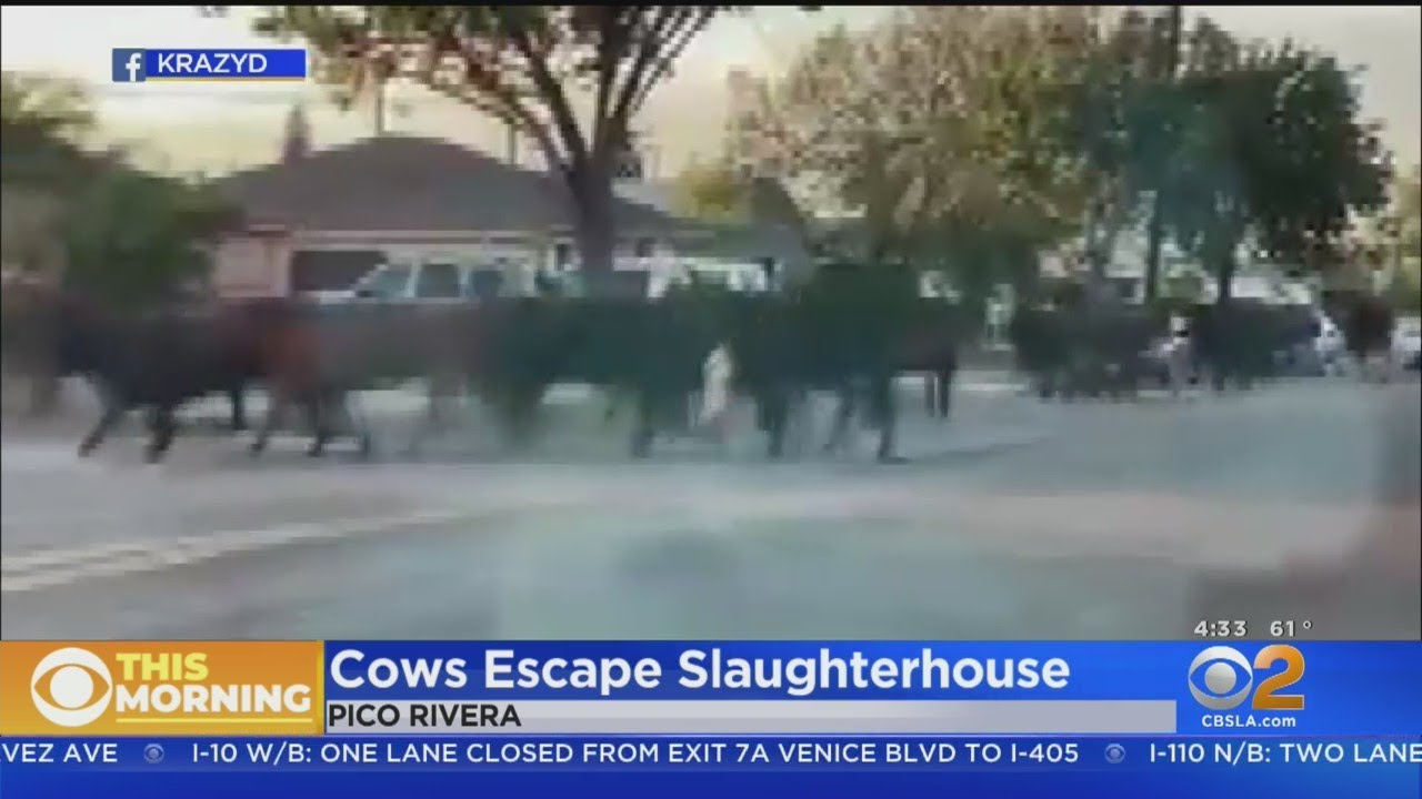 Cows Escape Meat Packing Plant, Run Wild In Pico Rivera