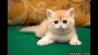 British kitten Lana Lucia SunRay BRI ny 11 Female   Британский котенок черный золотой затушеванный