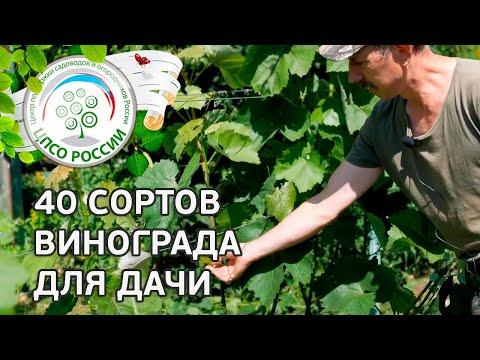 Какой сорт винограда выбрать для средней полосы. Описание сортов винограда и не только. | выращивание | посадить | виноград | черенок | отзывы | лучшие | сорта | весна | уход | сорт