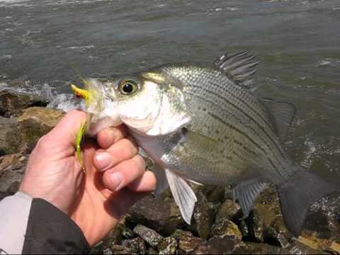 Fly Fishing For White Bass Des Moines River Youtube