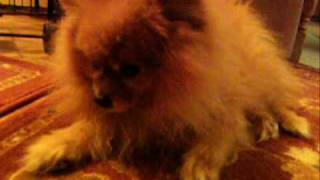 Pomeranian history and pomeranians today - Modern Pomeranian