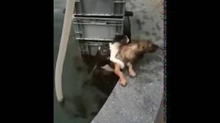 Спасение утопающего кота собакой Взаимовыручка у животных Интеллект