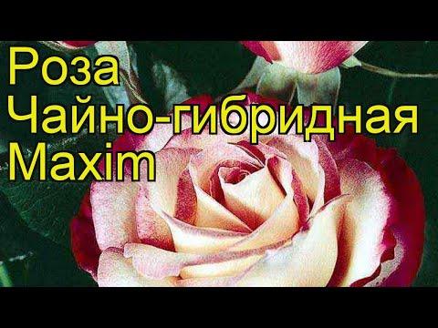 Роза чайно-гибридная Максим. Краткий обзор, описание характеристик, где купить саженцы Maxim