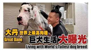 大丹世上最高狗種之一 《巨犬生活大曝光》🎞🎞Great Dane one of the World's tallest dog breed🎞🎞