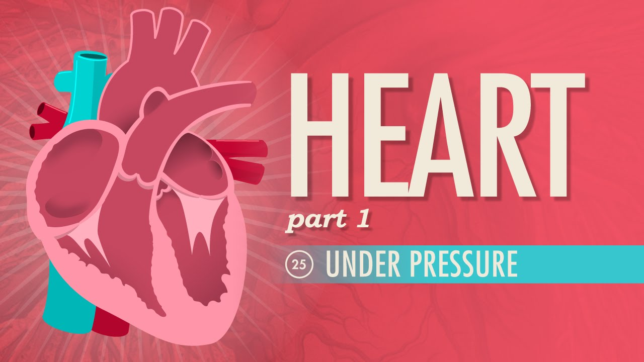 The Heart, part 1 - Under Pressure: Crash Course A&P #25 - YouTube