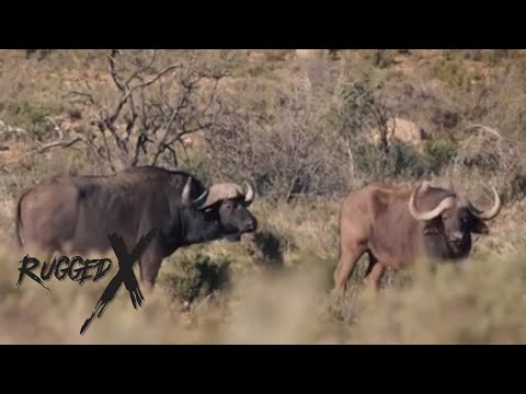 Cape Buffalo Hunt- South Africa