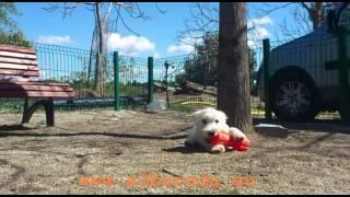 Cachorro Westy Alborada Kozcun Criadero Alborada, Kozcun, Westie Puppy Alborada Kennel
