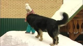 Семейная собака Тибетский мастиф