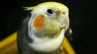 Отдали Укропчика(попугая коррелла)