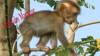 Cutest Baby Pigtail Monkey Orphan Playing On Tree,Adorable Baby Learning Walk, Lovely Baby Macaque