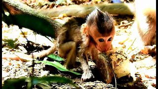 Very Hungry Little Charlee Baby Monkey, Poor Small Baby Monkey Find Food