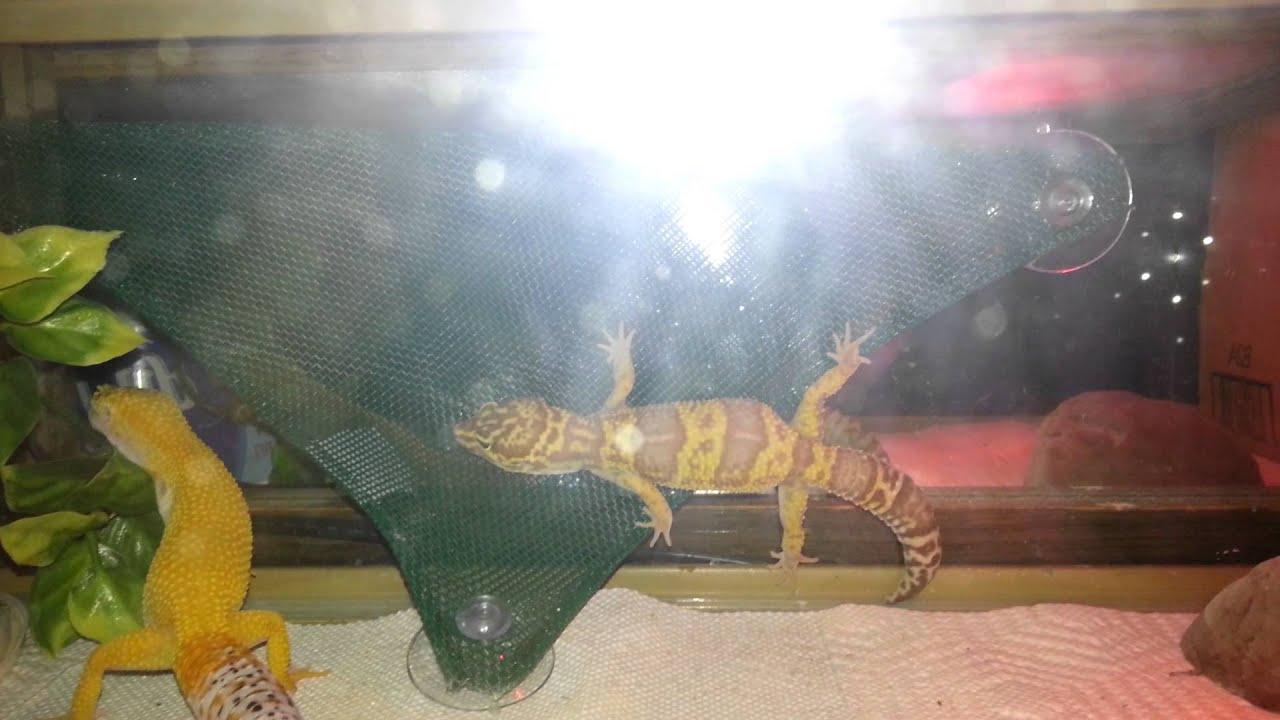 Gecko Hammock