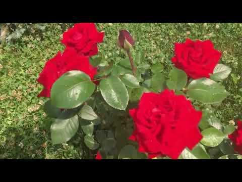 Кустовые розы в саду, Подмосковье