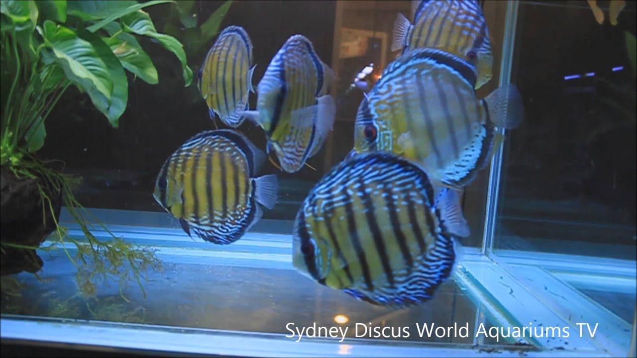 Premium Wild Discus Fish For Hd