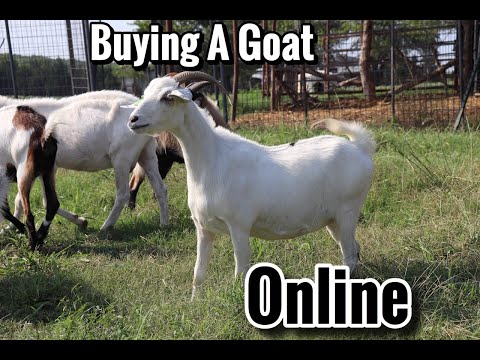 How To Buy A Goat Buying A Goat From A Online Auction Buying Kiko Goats