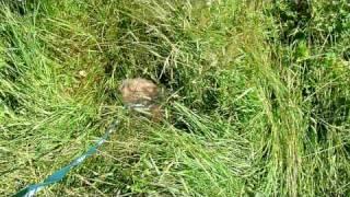 Tosha gulyaet (карликовый ангорский кролик)