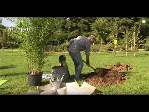 Comment planter des bambous en terre