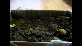 Jak sadzić ziemniaki w domu [PORADNIK]