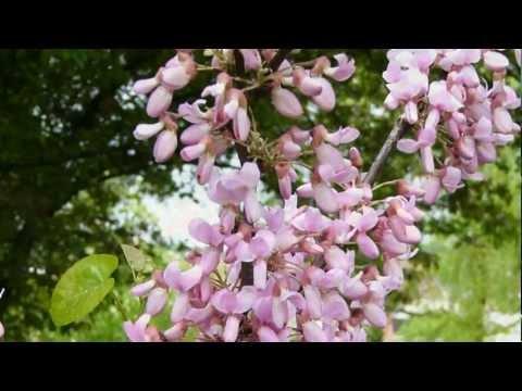 Акация — Acacia описание и уход на