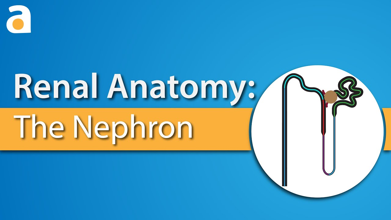 Renal Anatomy: The Nephron