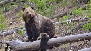 Yellowstone grizzly bears inhabit federal, state, tribal, and private lands, long-term research requires careful coordination across governmental levels....