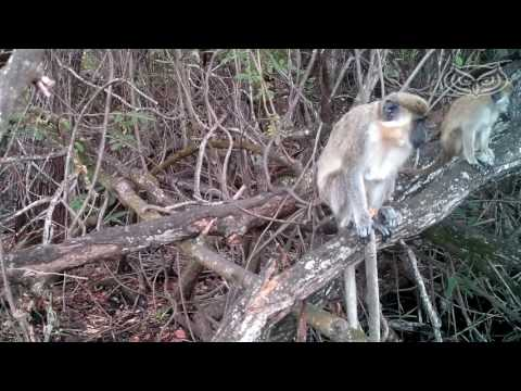 FAU researching the Monkeys of Dania Beach