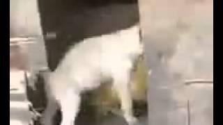 Курица и собака занимаются секасом