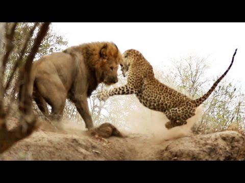Male Lion Stalks & Attacks Leopard