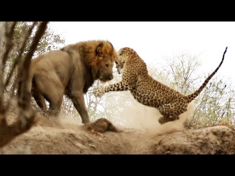 Male Lion Stalks & Attacks Leopard