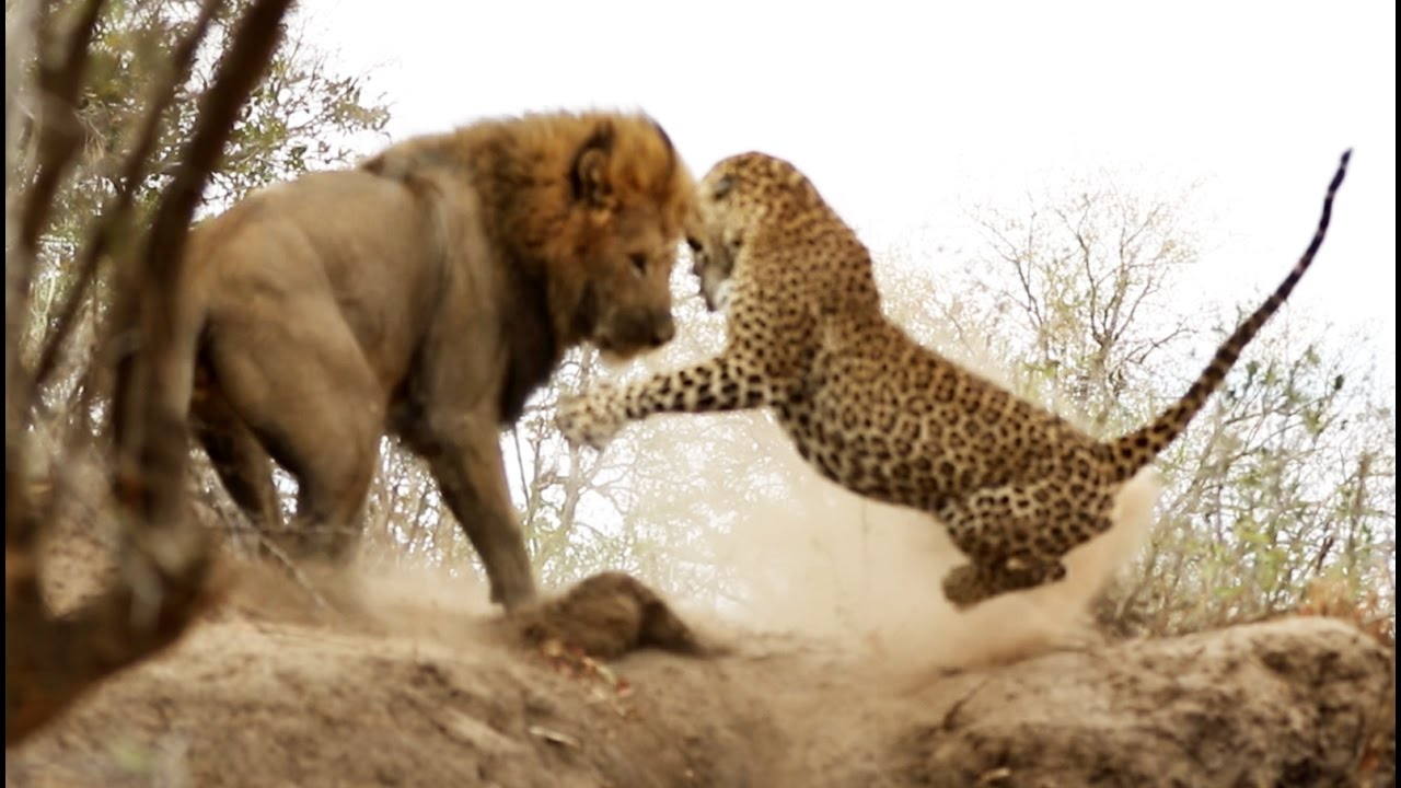 Male Lion Stalks Attacks Leopard YouTube