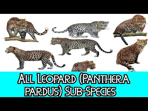 All Leopard (Sub)Species - Species List