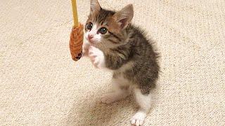 おもちゃに興味が出てきた子猫