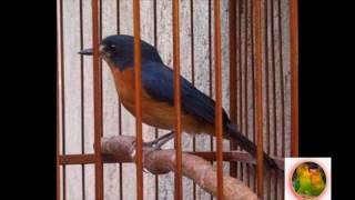 Suara Masteran TLEDEKAN Untuk Pancingan Burung TLEDEKAN Gacor