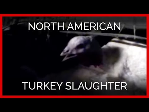 North American Turkey Slaughter