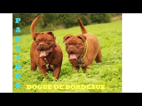DOGUE DE BORDEAUX   (Top 10 interesting facts)
