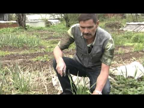 Вопрос: Гибрид земляники и клубники – земклуника или земклубника Лучшие сорта?