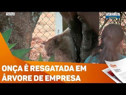 Onça é resgatada em árvore de empresa - TV SOROCABA/SBT