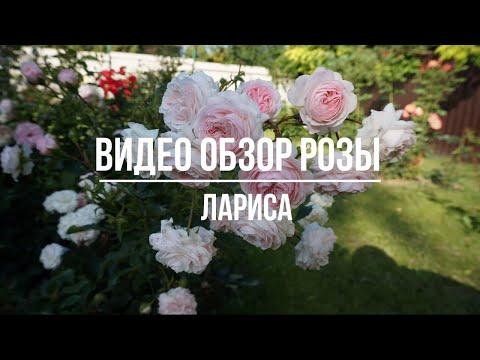 Видео обзор розы Лариса (Флорибунда) Larisa (Kordes Германия, 2008)