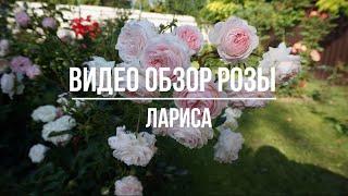Видео обзор розы  Лариса (Флорибунда) - Larisa (Kordes Германия, 2008) - Видео от КФХ ГРАНДИФЛОРА. Садовый центр в Никитском