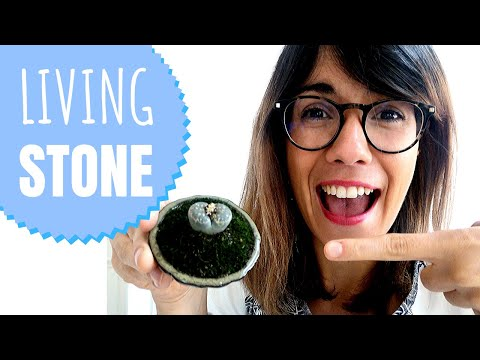 living-stones-plant-care---lithops