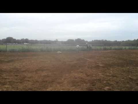 Disco - green calf roping horse