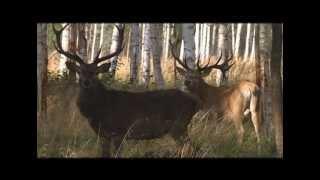 Охота на оленя в Венгрии видео
