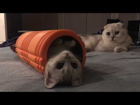 The Moment Of My Scottish Fold Daily Life
