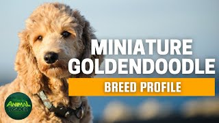 Miniature Goldendoodle Dog Breed Profile | Dogs 101  Golden Retriever Poodle mix