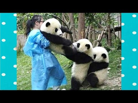 FUNNY and CUTE PANDA will make you LAUGH YOUR HEAD OFF | Funny Babies and Pets
