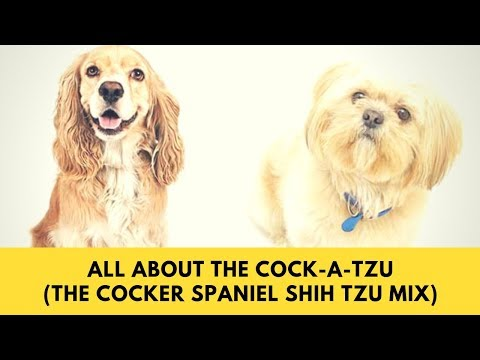all-about-the-cock-a-tzu-(the-cocker-spaniel-shih-tzu-mix)