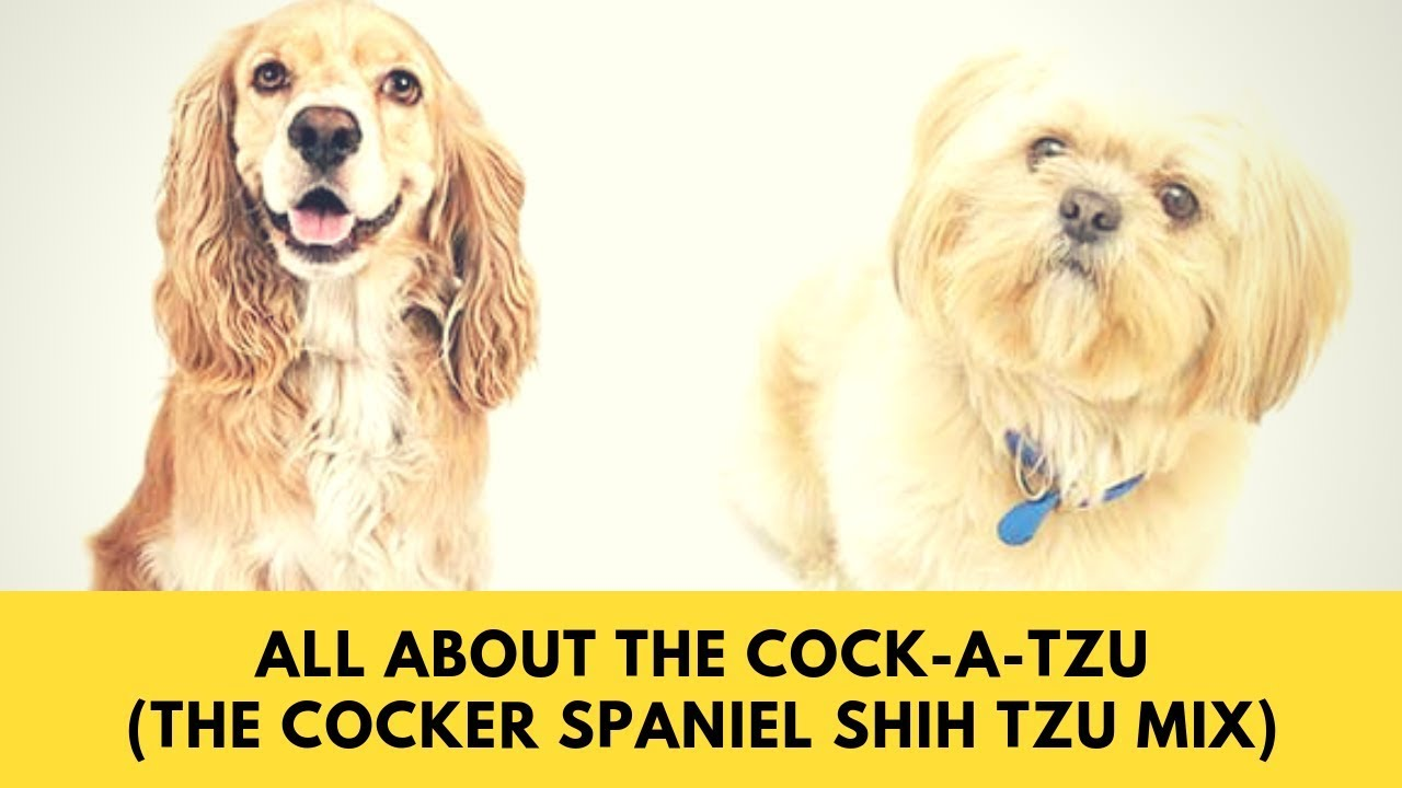 All About The Cock A Tzu The Cocker Spaniel Shih Tzu Mix Youtube