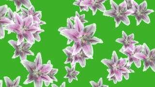 Download Video flower fall animation greenscreen free hd MP3 3GP MP4