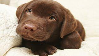 Cute Chocolate Labrador Puppies