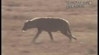 Peaceful Cheetah vs Crocodile